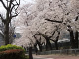 桜-霞ヶ関