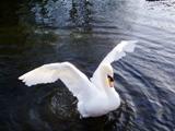 Gal_swan